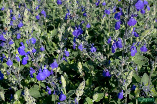 Salvia chamaedryoides marine blue native sons plant of the week salviamarineblue01swm mightylinksfo