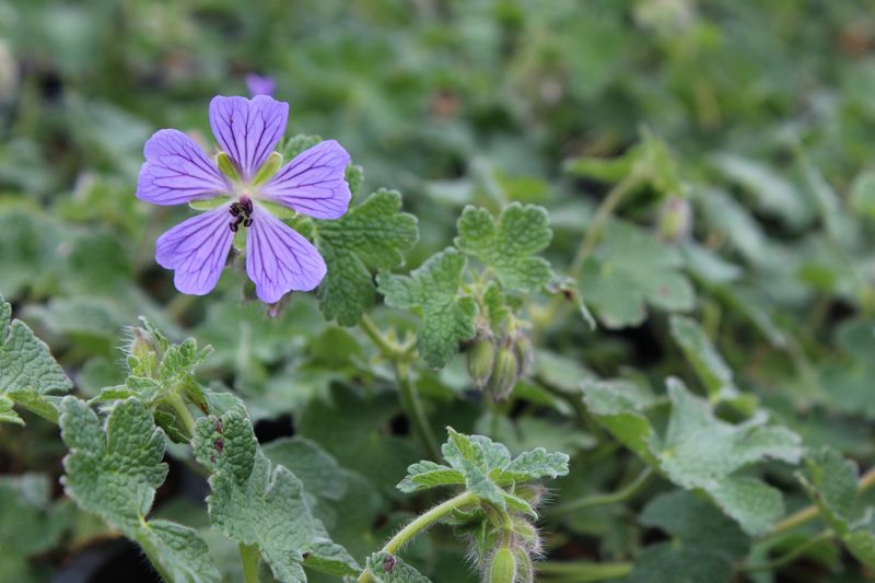 Geranium'PhillippeVapelle'_01(L)