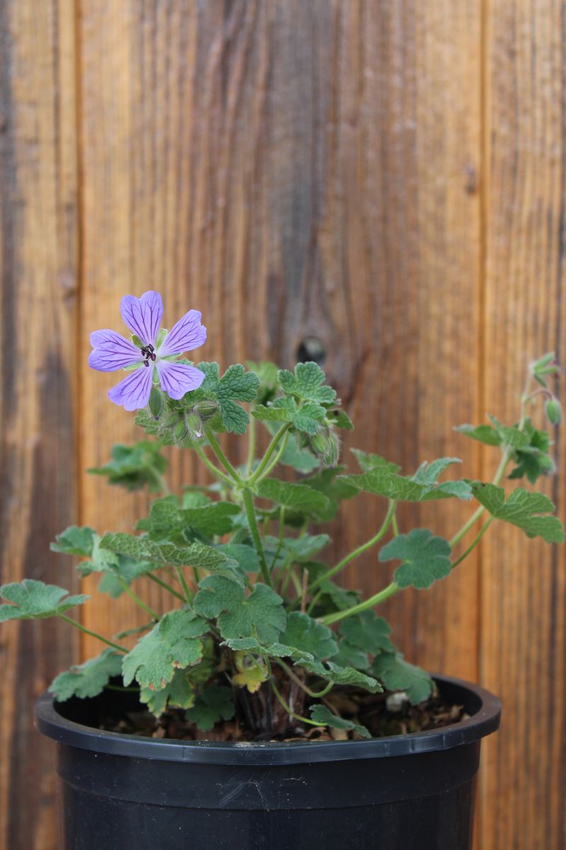 Geranium'PhillippeVapelle'_04(L)