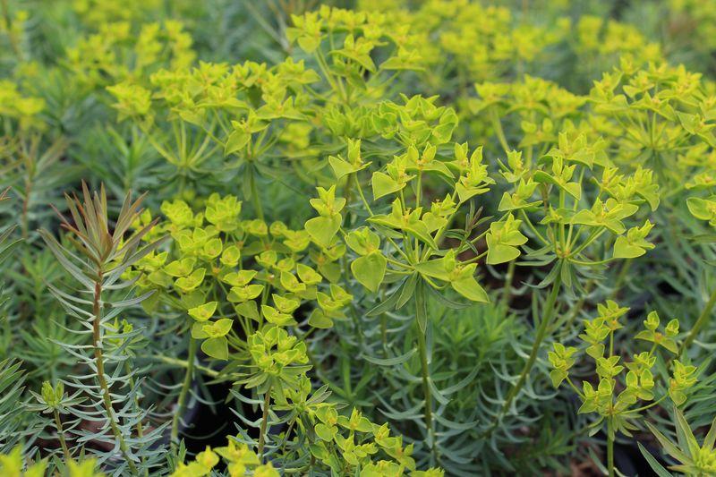 Euphorbia'DeansHybrid'