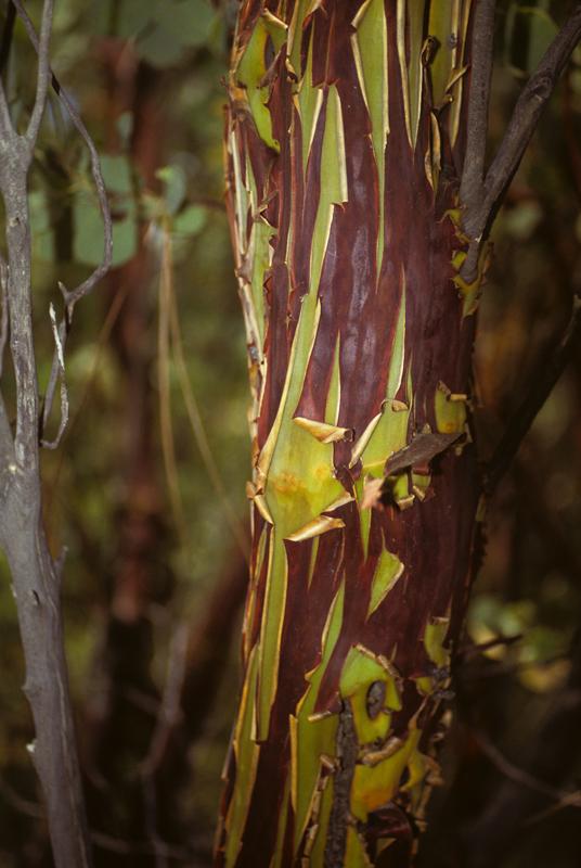 Arctostaphylos bark